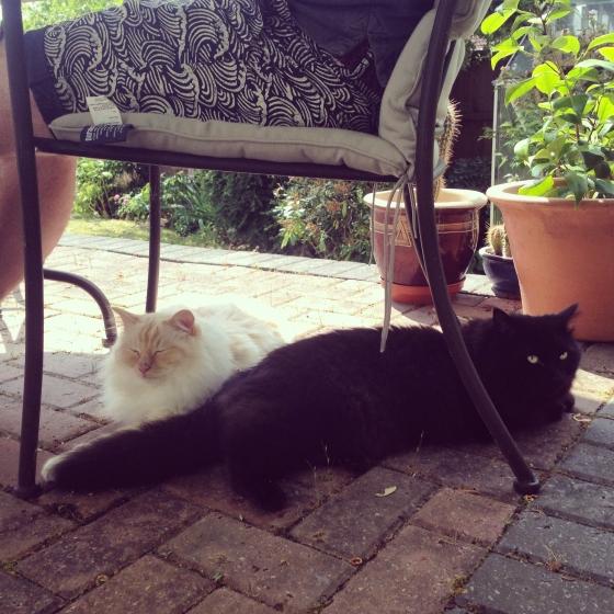 black and white cats Birman